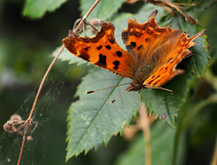 big butterfly count 2016 (Johnson Cameraface) Tags: 2016 august summer olympus omde1 em1 micro43 zd zuiko macro 50mm f2 johnsoncameraface bigbutterflycount butterfly commabutterfly comma