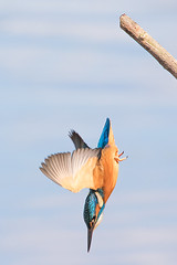 Kingfisher .... 'Oh well, here goes!' 3/3. (DP the snapper) Tags: kingfisher birds uptonwarren diving