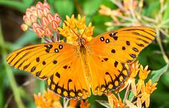 Gulf Frittilary Dorsal (ScreaminScott) Tags: butterfly insect butterflyweed gulffrittilary