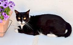 xGata Gitana (15) (adopcionesfelinasvalencia) Tags: gata gitana