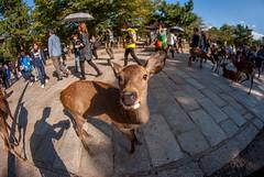 My Deer ! (adrien.lecoq) Tags: deer daim fisheye japan