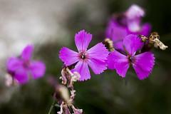 Sorprese (Martina Baldini MAPI) Tags: montagna fiore fiori natura bruco insetto viola rosa dolomiti macro dettagli