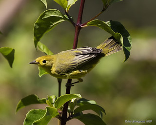 Yellow Warbler on a Stalk