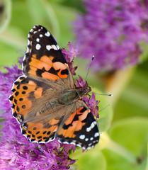 Distelfalter (rooibusch) Tags: botanischergarten berlin dahlem schmetterling distelfalter