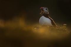 Puffins (Daniel Trim) Tags: fratercula arctica puffin bird wildlife nature animals skomer island pembrokeshire wales united kingdom uk gb