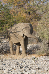 Namibia 2016 (352 of 486) (Joanne Goldby) Tags: africa africanelephant august2016 elephant elephants etosha etoshanationalpark explore loxodonta namiblodgesafari namibia safari