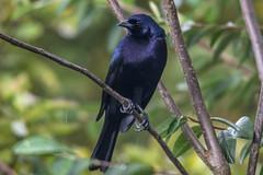 Molothrus bonariensis -male- (Shiny Cowbird / Chamn) (PriscillaBurcher) Tags: tordo tordocomn tordoazulino tordorenegrido molothrusbonariensis shinycowbird chamn avesdecolombia birdsfromcolombia dsc7106 ngc npc