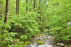 Green, green, green...Tennessee mountain forest (stevelamb007) Tags: tennessee greatsmokymountainsnationalpark smokymountains forest trees mountain stream stevelamb nikon d7200 nikkor18200mm nature green peaceful