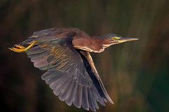 Green Sunrise (gseloff) Tags: greenheron bird bif wildlife horsepenbayou bokeh pasadena texas kayakphotography gseloff