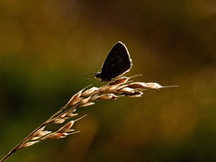 Waking Up......... (klythawk) Tags: commonblue polyommatusicarus butterfly grassstem sunlight backlight bokeh summer nature green brown yellow beige black white olympus em1 omd 40150mm 14xtc claypitnaturereserve wildlifetrust sssi wilford nottingham klythawk
