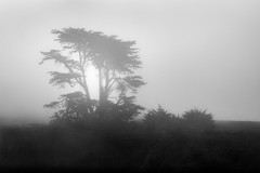 Coastal Tree in Summer Fog (StefanB) Tags: 1235mm 2016 bw california coast em5 fog geotag hwy1 monochrome outdoor tree treescape davenport