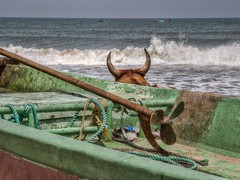 A cow, lying behind a boat, gazing out to sea (D-W-J-S) Tags: cow india beach sea gazing boat horizon horns green propellor waves