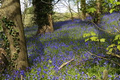 Bluebells, Worfield, Shropshire 02/05/2016 (Gary S. Crutchley) Tags: spring bluebells woods worfield shropshire springtime nikon d800 england travel raw nikkor afs 28300mm f3556g ed vr