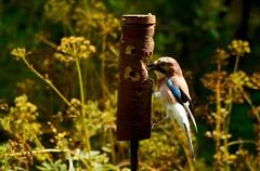 Golden Jay (J @BRX) Tags: jay garrulous glandarius adeldam yorkshirewildlifetrust goldenacrepark bramhope leeds yorkshire england uk august2016 summer bird crow green sunlight feeder feeding golden