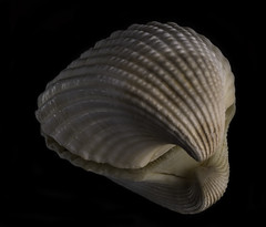 Scallop Shell Reflected (Bill Gracey) Tags: color colorful warmcolor offcameraflash seashell seaofcortez scallopshell homestudio blackbackground mirror tabletopphotography softbox sidelighting filllight yn560iii yongnuorf603n shell elegance sculpture elegant shapes textures
