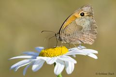 Maniola jurtina / Meadow brown /   / Grsrandje (sttdk1) Tags: lepidoptera sommerfugl butterfly   maniola jurtina meadow brown     k grsrandje stort okseje