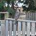 Hawk On Backyard Fence