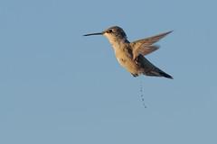 Weeeeeeeeeeeeeee! (Digital Rebels) Tags: hummingbird pee burstmode olympusomdem1
