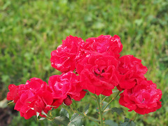 Krlewskie-Miasto-Krakw (arjuna_zbycho) Tags: krakw krakau polska polen poland hauptstadt history herbst ra rose rosas roses re rosu rosae flower kwiat blume makrofoto macrophoto