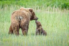 Alaska (Nedko Nedkov) Tags: alaska america bear grizzly june lakeclark spring usa wildlife