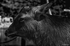 A wise man -  (snakecats) Tags:     nara japan naracity naraprefecture  todaiji       monochrome blackandwhite bw  deer