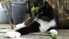 Zigster (AreKev) Tags: ziggy zigster mrjingles blackwhite black white male kitten cat pet animal polydactly garden ourgarden patio gardenpatio resting realxing sony sonycybershot cybershot sonydscrx100 dscrx100 rx100