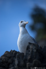 ...+ Mirador +... (samuel.devantery) Tags: birds bird animal portrait italy wild 5terre watch mouette freaks