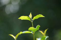 Not ready for Autumn! (SteveJM2009) Tags: shoot leaves plant newgrowth tips skeletal veins sun light dof focus bokeh mottisfont hants hampshire uk september 2016 stevemaskell