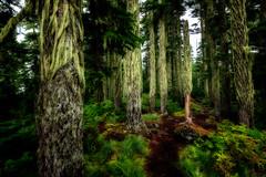 Cousin Itt Clan (KPortin) Tags: lakestrail alpinelakeswilderness trees moss trail