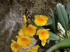 Borboleta e orqudea amarelas (Valter Frana) Tags: borboleta inseto polinisador fase ornamental orqudea epfita vegetal