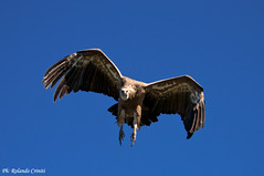 Grifone _002 (Rolando CRINITI) Tags: grifone uccelli uccello birds ornitologia lapaludsurverdon francia natura goledelverdon