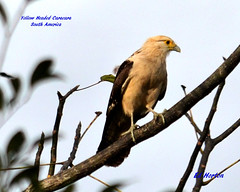 Yellow Headed Caracara (Edhorton) Tags: yellow headed caracara south america birding wildlife