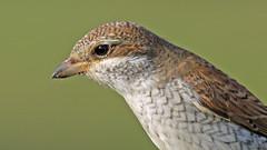 Red-backed Shrike (jaytee27) Tags: redbackedshrike naturethroughthelens tidemillsuk