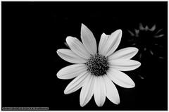 Flower (B&W) (renseposthumus) Tags: canon 70d tamron adaptall sp manualfocus 70210mm f35