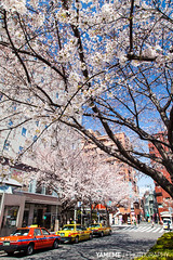 Cherry Blossoms / Tokyo, Japan (yameme) Tags: travel flowers nature japan canon eos tokyo  sakura cherryblossoms    yamanoteline    komagome 24105mmlis  5dmarkii 5d2