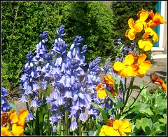 Colours .. (* Janets Photos*Site to slow to Comment) Tags: uk flowers blue orange yellow flora colours bluebell wallflower artisticflowers