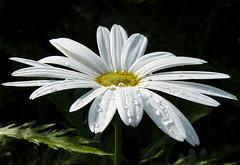 Medio Seca (Geli-L) Tags: lluvia flor gotas margarita soe amazingdetails silveramazingdetails blinkagain goldamazingdetails
