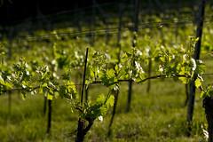 (Markus Hill) Tags: travel canon austria spring wine vineyards steiermark 2012 wein styria südsteiermark