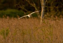 _MG_0055 Barn Owl (Tyto alba), Brandon Marsh, Warwickshire 06May12 (Lathers) Tags: brandon warwickshire barnowl tytoalba nbw brandonmarsh 06may12 canon7d canonef500f4lisusm wkwt
