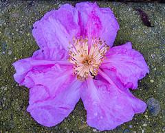 Fallen (dicktay2000) Tags: flower purple g11 20120520img4911