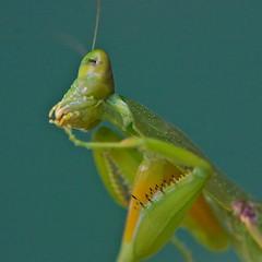 Are you checking me out ? (Deb Jones1) Tags: life macro green canon bug insect insects bugs micro flickawards debjones1 mantispreyingmantis