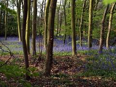 Bluebell Wood (saxonfenken) Tags: wood flowers blue trees bluebells forest superhero thumbsup 162 rockon gamewinner challengeyouwinner challengewinner friendlychallenges yourockwinner yourockunanimous gamex2winner herowinner storybookwinner pregamewinner gamesweepwinner storybookttwwinner 510rspb 162trees
