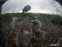 ...and preens while the chicks play. (y.mclean) Tags: heron nest cornell ornithology greatblueheron sapsuckerwoods cornelllabofornithology