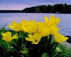 nice view for flowers (Per Ola Wiberg ~ powi is back) Tags: tulips may harmony quintaflower 2012 maj musictomyeyes hässelby naturegroup friendsforever tulpaner beautifulearth finegold topshots perfectpetals photogarden thebeautyofnature flickrbronzeaward flickrsilveraward heartawards fl♥ckrhearts flickrsun goldstaraward peaceawards natureselegantshots ♡beautifulshot♡ flickrwiki flickrflorescloseupymacros ☆brilliantphotography☆ photographerparadise unforgettableflowers universeofnature certifiedphotographer naturesribbon flickrsgottalent theoriginalgoldseal mygearandme mygearandmepremium flickrsportal flickrshutterspace mygearandme2premium weloveallflowers fireworksofphotos thenaturessoul beautifulflowersgroup ☼☼☼hellofriend☼☼☼ level1photographyforrecreation flowerswonder level2photographyforrecreationsilver landscapessunsetswaterscapes flickrstruereflection1 flickrstruereflection2 ♥thesoulofourthoughts thenewringofexcellence