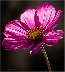Cosmos (H e l l y) Tags: pink flowers flower macro nature floral yellow liverpool fleurs canon botanical petals stem blossom 100mm bloom cosmos helly floras explored helenawatson singlestemflower