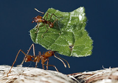 Leaf-cutter-ants_7831 copy (Peter Warne-Epping Forest) Tags: uk nature wildlife insects parasites ants leafcutter stalbans butterflyworld