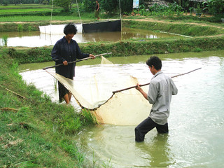 Fish culture in rice fields, Cambodia. Photo by Francis Murray, 2007