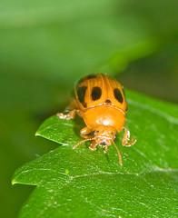 Gonioctena nigroplagiata,  (aeschylus18917) Tags: macro nature japan season insect tokyo spring nikon seasons beetle   nerima pxt coleoptera  105mm leafbeetle nerimaku chrysomelidae insecta  kabutomushi 105mmf28 hemiptera   shakujikoen     105mmf28gvrmicro  chrysomelinae d700 nikkor105mmf28gvrmicro    nikond700  danielruyle aeschylus18917 danruyle druyle   shakujiiken  gonioctenanigroplagiata