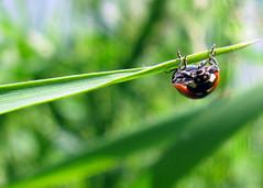 Just hanging out June 25, 2012 (Kyla Denton) Tags: macro bug saskatoon ladybug saskatchewan