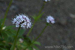 "Sitka Valerian • <a style=""font-size:0.8em;"" href=""http://www.flickr.com/photos/63501323@N07/7454731320/"" target=""_blank"">View on Flickr</a>"
